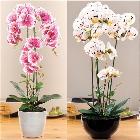 Phalaenopsis Orchids in Ceramic Pots (Set of 2)